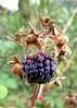 (Ana Carolina Abreu) Tags: plantas amora plants blackberry berries fruits nature