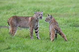 Bobcat Confrontation (2 of 7)