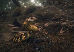 Tiger Snake (Notechis scutatus) (Kristian Bell) Tags: tiger snake notechis scutatus reptile wild wildllife animal melbourne australia park suburb sony laowa 15mm kris kristian bell
