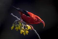 I'iwi (Peter Stahl Photography) Tags: iiwi maui hawaii bird outdoors red