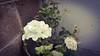 Floreciendo. (spawn5555) Tags: flor planta nature naturaleza casa home cotidiano belleza beautiful huawei photography photographie fotografía blanco botanica