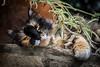 Boredom (GiacomoDiego) Tags: cat gatto colori colors colore color maculato spotted natura nature cats gatti occhio eye occhi eyes