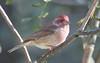 IMG_2894 Purple Finch - Haemorhous purpureus (Jon. D. Anderson) Tags: birdsofwashington bird washingtonbirds finch purplefinch haemorhouspurpureus carpodacuspurpureus