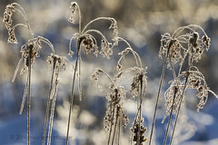 Dance above Winter Shadows (maryanne.pfitz) Tags: stilllife nature grasses bokeh plants hoarfrost winter snow mapsz1220 maryannepfitzinger