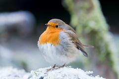 European robin (a3aanw) Tags: sneeuw vogels ijs nikon winter djfotografie birds 200500mm roodborstje robin