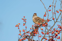2619 (Eric Wengert Photography) Tags: americantreesparrow bird sparrow