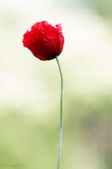Poppy (Paul van Agthoven) Tags: macro closeup canon nice groen zoom nederland natuur 100mm zomer poppy usm lente rood zon bloemen klaproos llens
