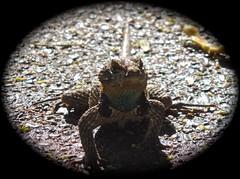 Say what?? (phxdailyphotolady) Tags: closeup desert reptile lizard expressive desertbotanicalgarden