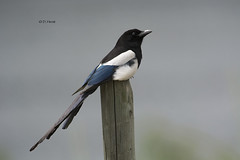 Black-billed Magpie (featherweight2009) Tags: birds bc okanagan magpies blackbilledmagpie picahudsonia corvids