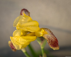 158/365 Iris (Robin Penrose) Tags: flowers day158 365challenge day158365 201506 365the2015edition 3652015 7jun15