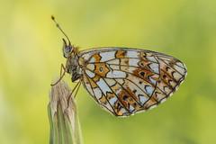 Boloria selene (Prajzner) Tags: morning macro nature butterfly insect nikon bokeh tripod sigma poland naturallight lepidoptera manfrotto insecta sigma105mmmacro sigma105macro smallpearlborderedfritillary boloriaselene photonature macrodreams nikond7100 manfrottomt190xpro3 pra7792