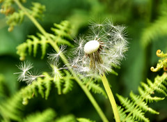 Blowing In The Wind (sunbeem - Irene) Tags: flower dandelion seeds seedhead wildflower carrmill