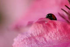 (Red 'N Spots) Tags: pink flowers flower nature insect nikon bokeh wildlife clematis insects ladybird ladybug ladybugs tamron