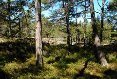 Archipelago forest (annamaart) Tags: forest spring may skog springtime archipelago maj vr skrgrd arholma