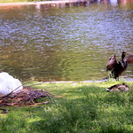Swan & Loon, Boston Public Garden, June 201, 2015 thumbnail