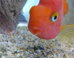 Gulp   --   L1080499 (mshnaya) Tags: leica fish water swimming swim gold aquarium photo video flickr foto goldfish photograph feed aquatic gulp leicac