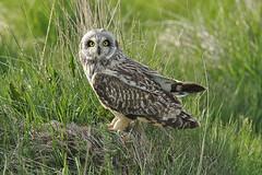 Brandugla-Short eared Owl-Asio flammeus (sigmundurasgeirsson) Tags: shortearedowl asioflammeus brandugla