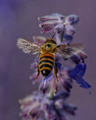 Honey Bees Love Lavender (dcstep) Tags: urban usa nature colorado bee urbannature dxo honeybee allrightsreserved cherrycreekstatepark ef70200mmf4lis italianhoneybee canon5dmkiii ef14xtciii ef25et copyright2015davidcstephens dxoopticspro104 z5a1436dxosrgb