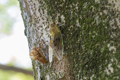 Cicada (axlemasa) Tags: