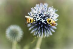 Breakfast (SLR obsession) Tags: bees flowersforweb