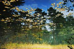 painting by nature!!(水面に映る紅葉) (daigo harada(原田 大吾)) Tags: yellow leaf water refrection 紅葉 水面 反射