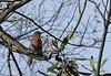 A female western bluebird scans the sky. (stephenlester) Tags: sialia mexicana westernbluebird female