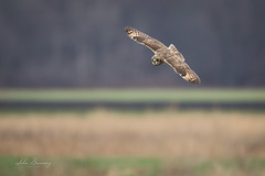 Short Eared Owl (johnbacaring) Tags: seo shortearedowl birds birding newyork owl
