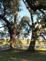 Live Oaks at Nottoway Plantation (alukahn) Tags: louisiana liveoaks whitefence thanksgiving2016