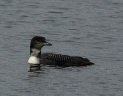 COLO2 (isiserb1) Tags: bird birds avian commonloon loon colo