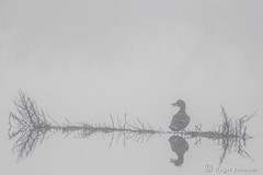 Quaaaaaaaaack... Hey, Anybody Out There⁉ (Romair) Tags: duck mallard fog groundfog cortemaderamarsh rogerjohnson
