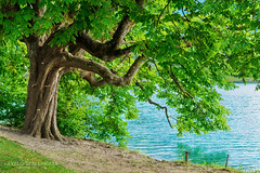 Horse chestnut tree on shore of Lake Bled (laszlo.szelenczey) Tags: tree shore lake bled slovenia europe european horse chestnut aesculus hippocastanum water green lakeside branches leaves nature summer travel tourism vacation shade