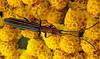 Slenderlined LONGICORN BEETLE (Lani Elliott) Tags: flowers bugs insects beetle beetles longicornbeetle yellow bright homegarden achillea
