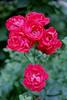 raw0024 (Dan_Khan) Tags: analog film canoneos3 canonef50mmf18stm nikoncoolscanls40 vuescan gimp flower pink kodakcolorplus200