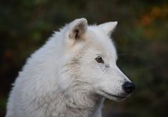 Loups blancs Omega (8) (DomyNature) Tags: parcomega loupblanc
