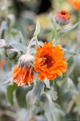 Calendule (ambrasimonetti) Tags: calendule fiore fiori flower orange rugiada bokeh saveearth