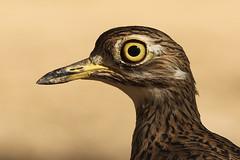 Kaapse griel - Burhinus capensis - Spotted Thick-knee (merijnloeve) Tags: kaapse griel burhinus capensis spotted thickknee vogel vogels bird birds oman salalah khawr al balid