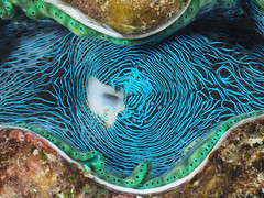 clam (oh damn!) Tags: great greatbarrierreef tridacna clam