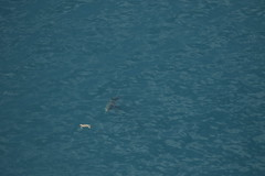 White shark approaches loggerhead turtle (FWC Research) Tags: carcharodoncarcharias whiteshark greatwhite shark carettacaretta loggerhead seaturtle turtle aerialsurvey research conservation fwc fwcresearch atlanticocean