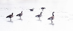Walking on thin ice. (d_russell) Tags: 365the2017edition winter ducks ice lake kansas