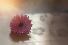 Sunset Daisy.. (KissThePixel) Tags: sunset sun sunlight sunshine reflection shadow light stilllife daisy gerber pink flower nikon sigma sigmaart beautiful