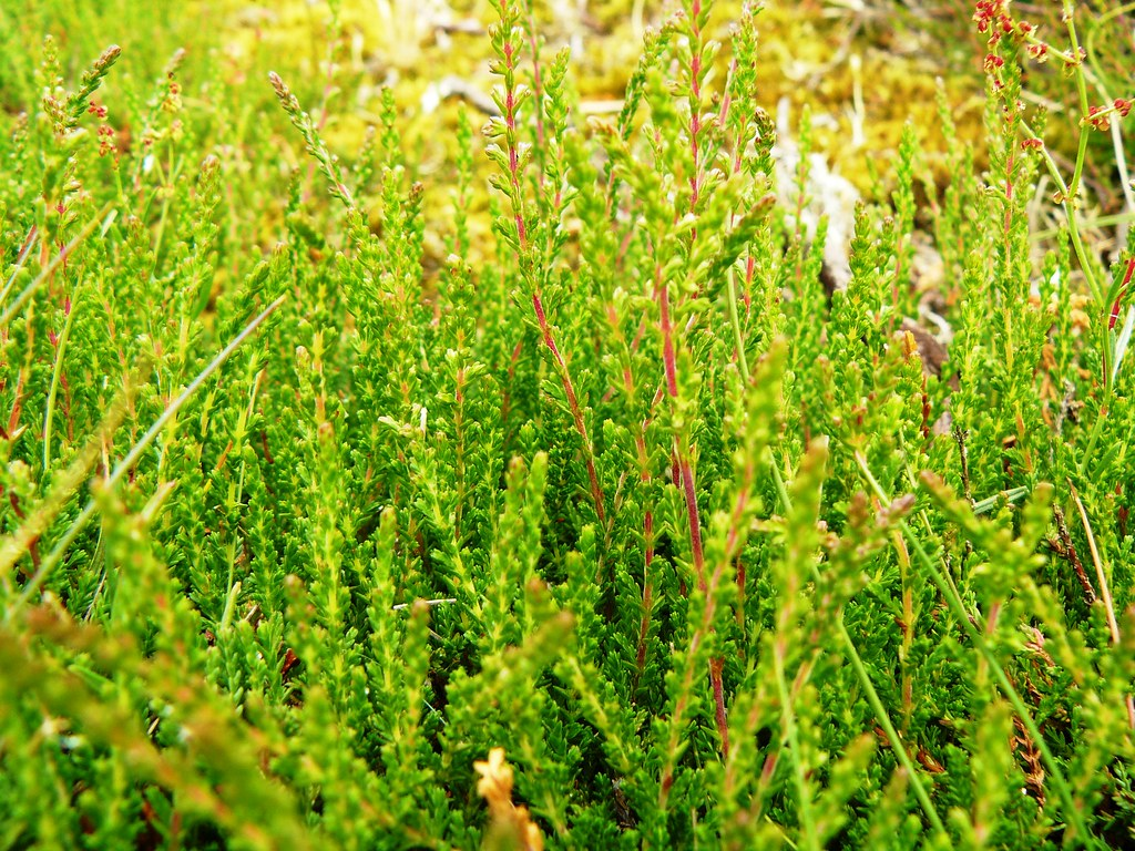 Calluna vulgaris-Besenheide1
