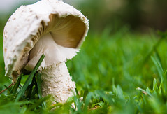 • Fungi (LauLópeZ) Tags: hongo fungi seta verde green grass pasto withe blanco mushroom nature macro naturaleza vida life