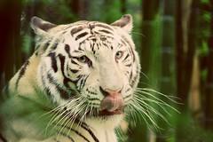 🐽 (rom.cb88) Tags: tigreblanco