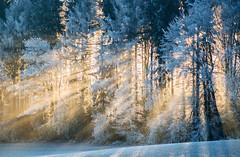 Cette frontière qui sépare la nuit de la lumière. (Valentin le luron) Tags: 20170117 nikon 800 e forêt lisière lumière nature paysage neige contrejour givre bois du jorat vaud romandie suisse yves paudex lausanne