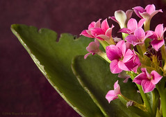 Pink Kalanchoe (0 W8ing) Tags: pink flowers flower macro tag3 taggedout photoshop d50 flora nikon tag2 tag1 nikond50 kalanchoe 1855mmf3556g 0w8ing