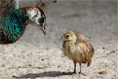 let's talk about avian influenza, baby (BlueBreeze) Tags: bird peacock birdflu virus vogel grippe pfau pavocristatus peachick h5n1 vogelgrippe avianinfluenza pfaunotfau thebiggestgroup p1f1
