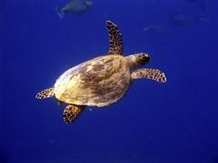Green sea turtle (Chelonia mydas) (Arne Kuilman) Tags: ocean blue sea swimming turtle redsea sharmelsheikh amphibian scuba diving reef seaturtle a75 cheloniamydas greenturtle greenseaturtle yolandareef