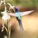 Beija-flor Tesoura 416 - 5