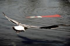 Flyover (ohad*) Tags: red bird nature canon ilovenature 350d grey washingtondc dc washington cone photoblog dcist ohad gridskipper ohadonline