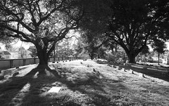 Time Marches On (Thomas Hawk) Tags: california city blackandwhite bw usa tree cemetery america oakland blackwhite unitedstates 10 cemetary unitedstatesofamerica fav20 eastbay oaktree mountainviewcemetery fav10 natureshand